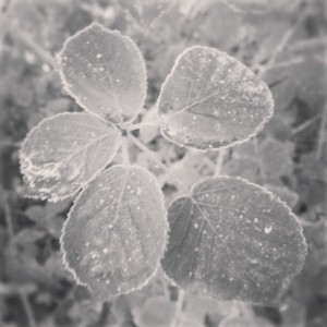 frosted leaves black and white