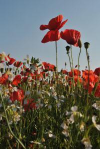 poppies (2)
